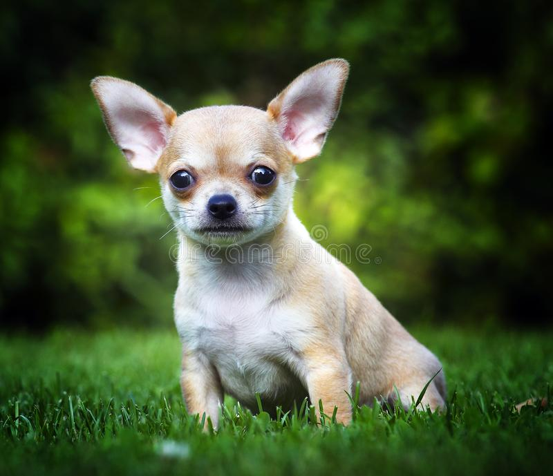 Chihuahua baby puppy dog in studio quality. Postcard stock photography