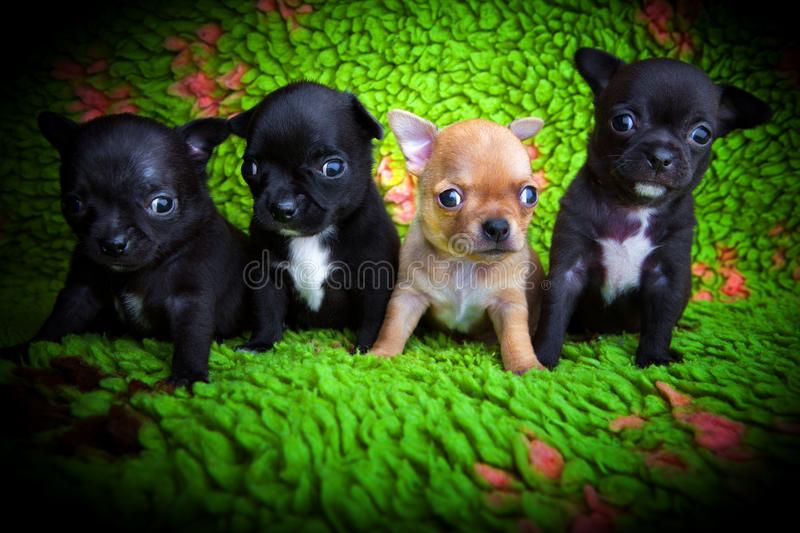Chihuahua baby puppy dog in studio quality. Postcard stock photo