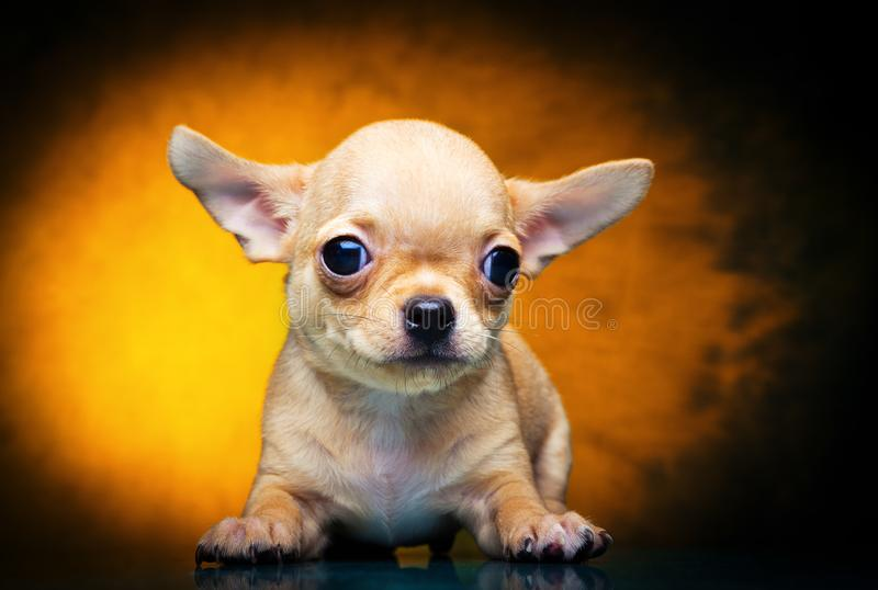 Chihuahua baby puppy dog in studio quality. Postcard royalty free stock images