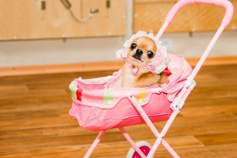 Chihuahua in babykostuum in stuk speelgoed kinderwagen stock foto
