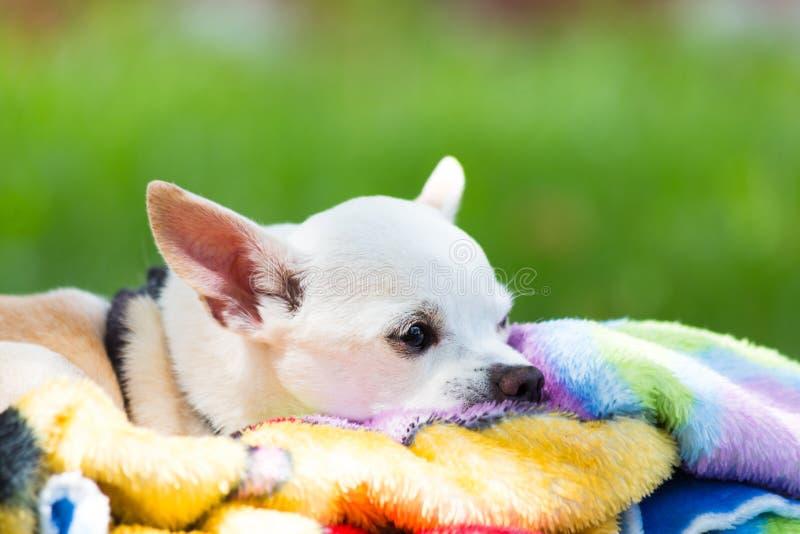 Chihuahua bianca sulla coperta immagine stock