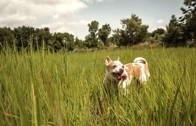 Chihuahua bieg Przez trawy zdjęcia stock