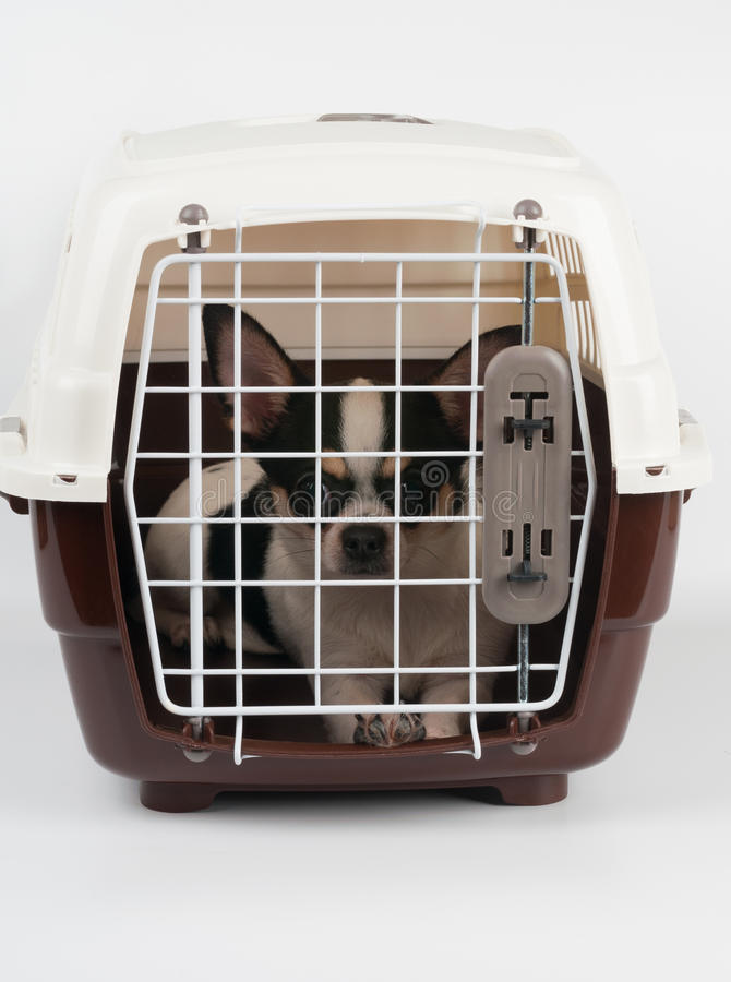 Chihuahua binnen de drager stock foto