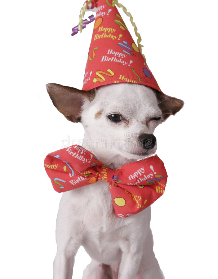 Chihuahua in a birthday hat. Chihuahua on a white background in a birthday hat stock image