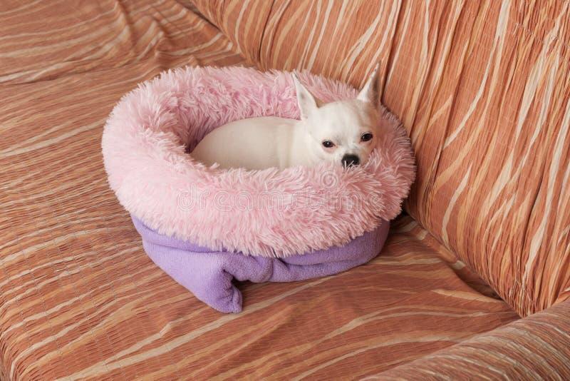 Chihuahua blanca que miente en cama suave del perro de la fibra hueco en el sof?, 5 a?os femeninos fotografía de archivo