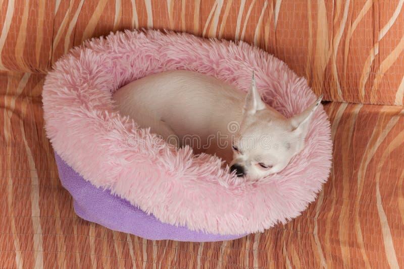 Chihuahua blanca que miente en cama suave del perro de la fibra hueco en el sof?, 5 a?os femeninos fotos de archivo libres de regalías