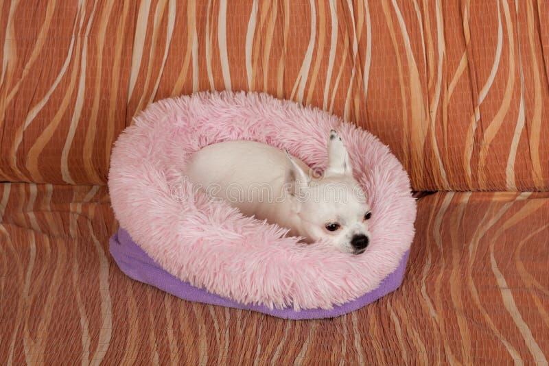 Chihuahua blanca que miente en cama suave del perro de la fibra hueco en el sof?, 5 a?os femeninos imagen de archivo