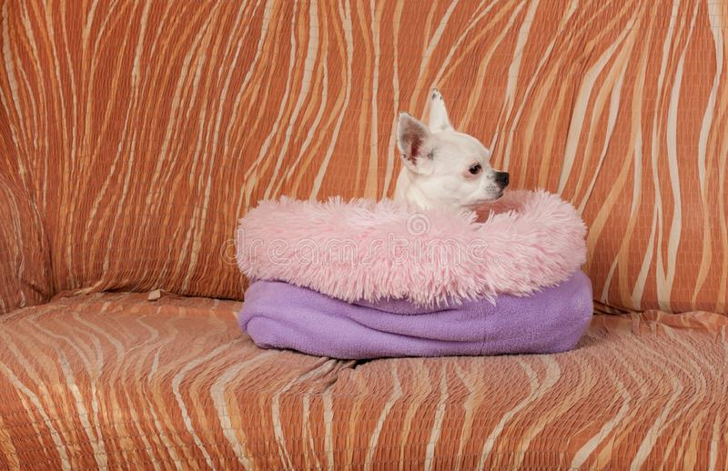 Chihuahua blanca que miente en cama suave del perro de la fibra hueco en el sof?, 5 a?os femeninos fotos de archivo