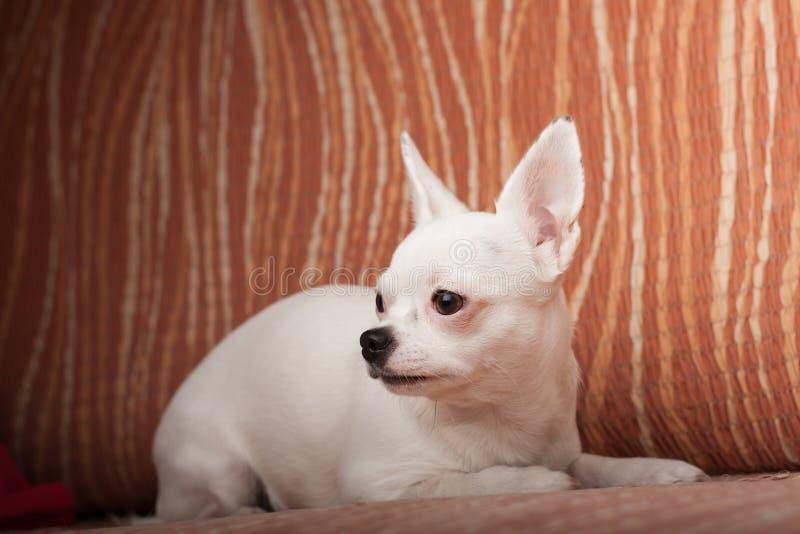 Chihuahua blanca que miente en el sofá, 3 años femeninos imagen de archivo