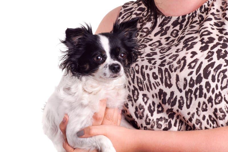 Chihuahua blanco y negro del perro de los accesorios con su dueño fotos de archivo libres de regalías