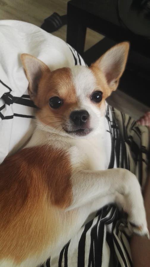 Chihuahua bonito do cão foto de stock royalty free