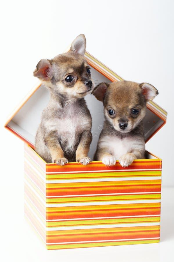 Chihuahua bonito dos cachorrinhos na caixa foto de stock royalty free