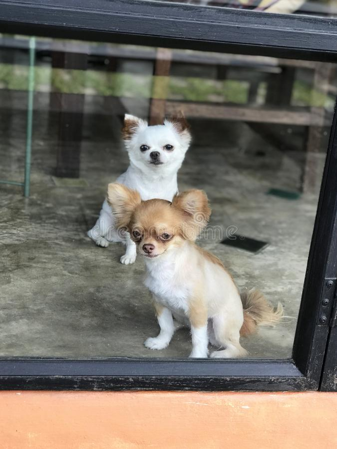 Chihuahua Brown que senta-se na frente do branco da chihuahua atrás do vidro no restaurante foto de stock royalty free