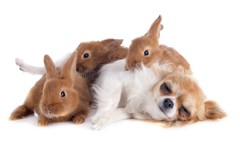 Chihuahua and bunnies. Portrait of a cute purebred puppy chihuahua and bunnies in front of white background stock photography
