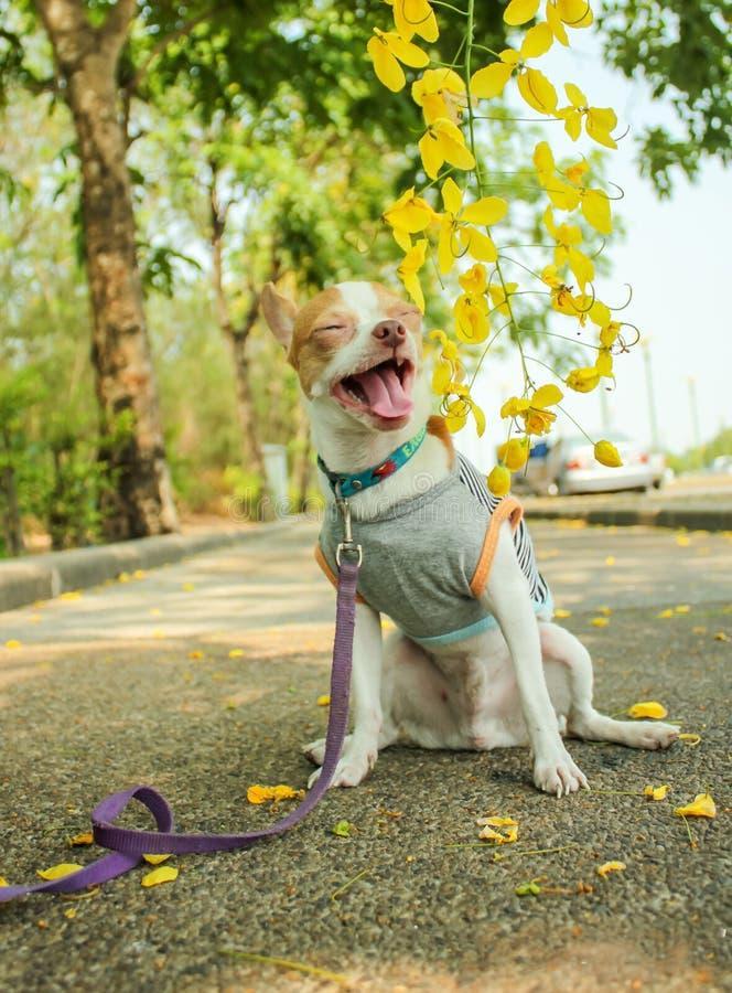 Chihuahua che dogSitting sul calcestruzzo fotografie stock