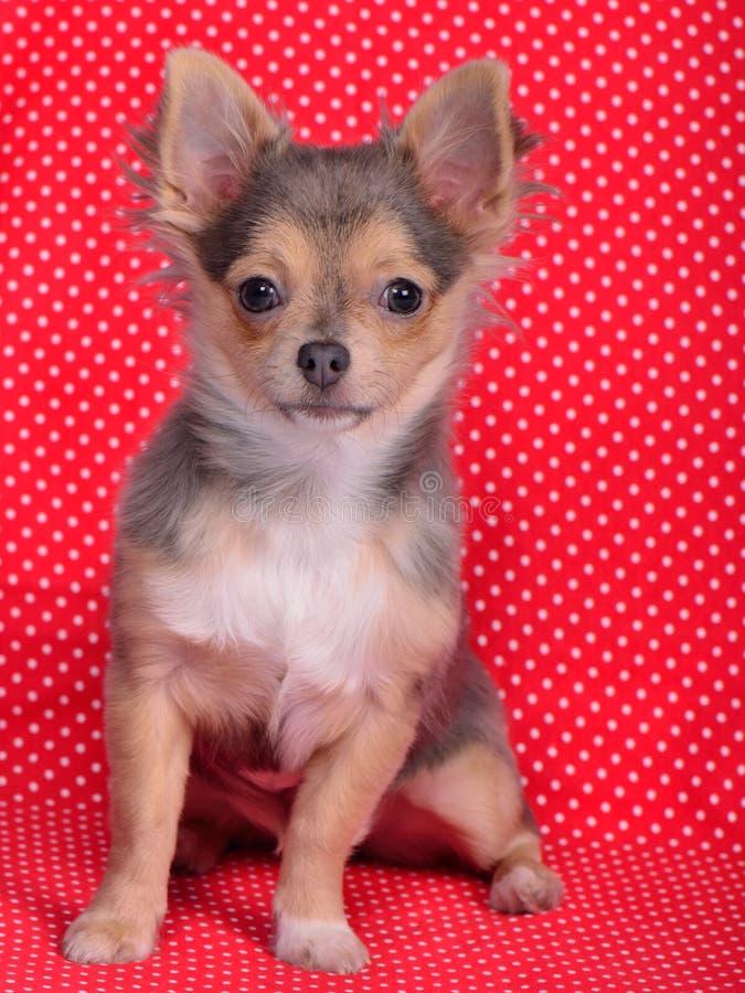 Chihuahua che si siede contro la priorità bassa rossa del Polka-puntino immagini stock libere da diritti
