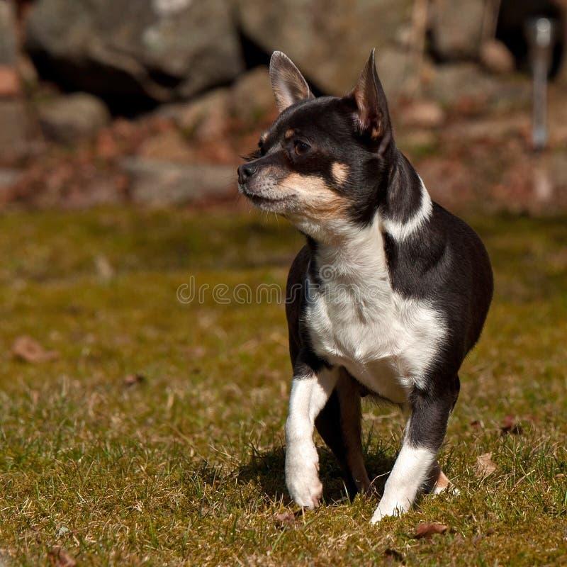 Chihuahua che stanno su un prato inglese fotografie stock libere da diritti