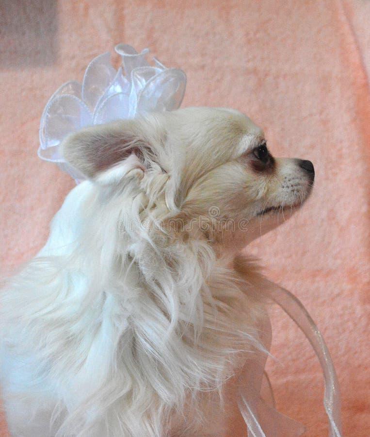 Chihuahua, chien blanc, se reproduit avec un arc blanc, semblable à une mariée, sur fond corallien photos libres de droits
