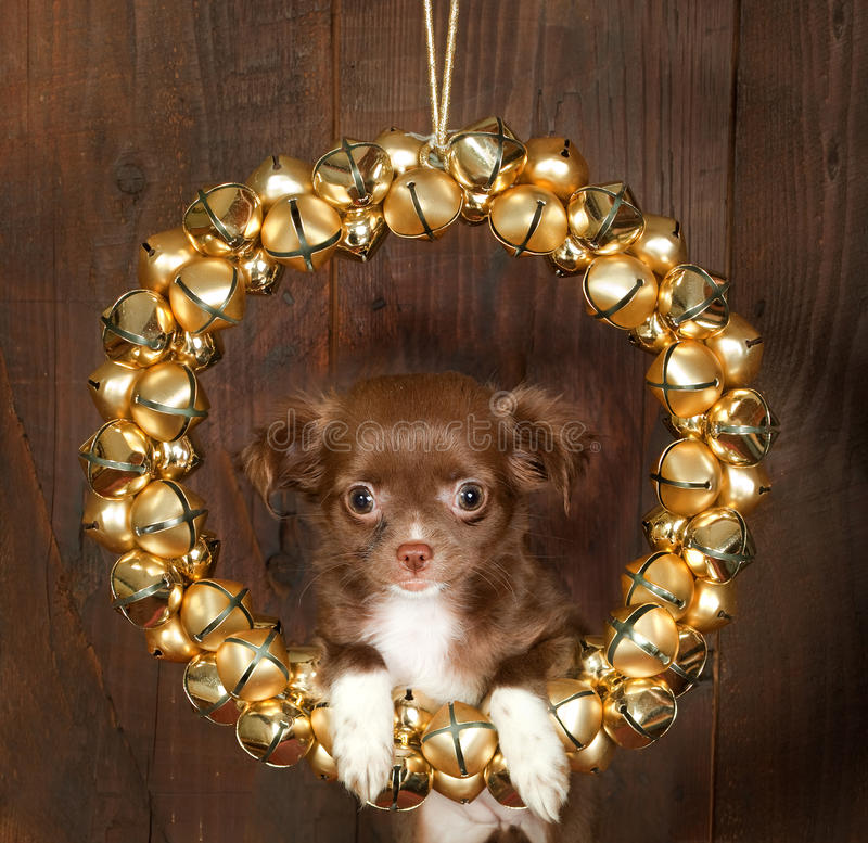 Chihuahua christmas dog. Christmas decoration with golden bells and a puppy chihuahua dog royalty free stock photo