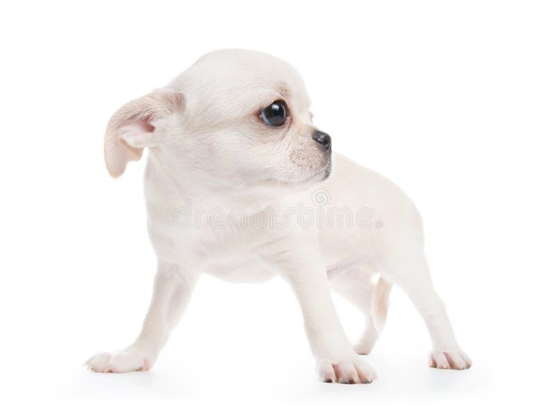 Chihuahua cobby typ biały purebred szczeniak zdjęcia stock