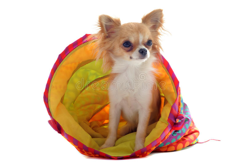 Download Chihuahua In A Colorful Bed Stock Photo - Image: 24832700