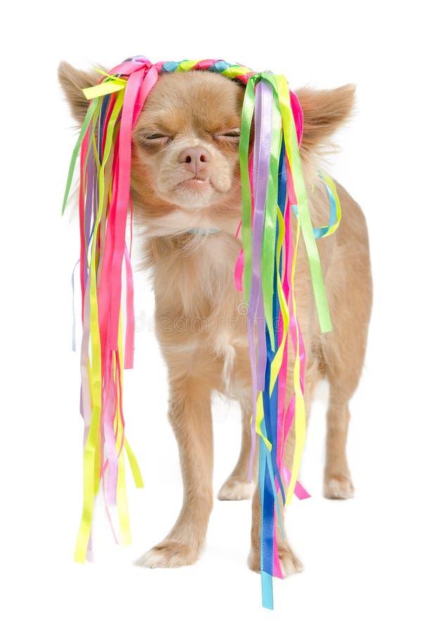 Chihuahua com estilo de cabelo excêntrico imagens de stock