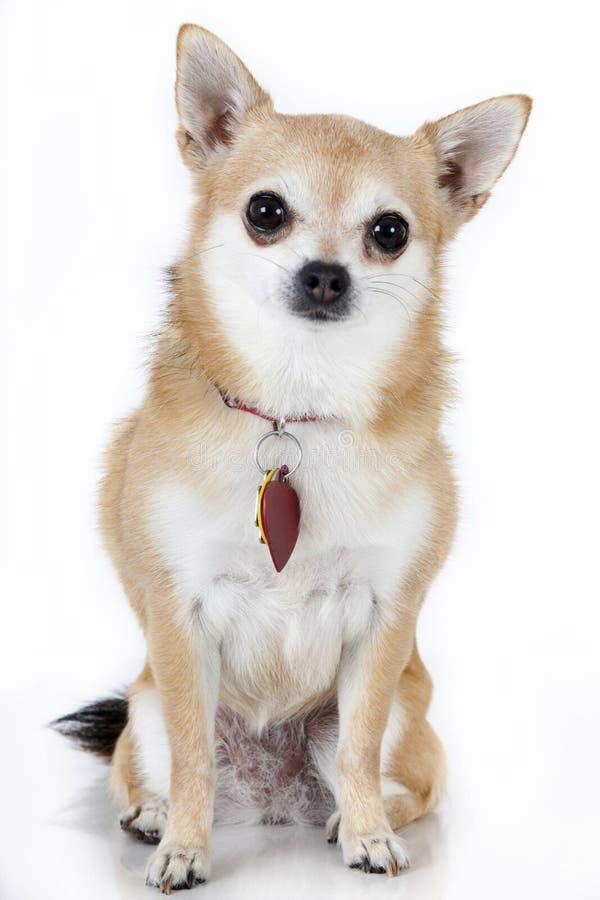 Chihuahua com etiquetas de cão fotografia de stock
