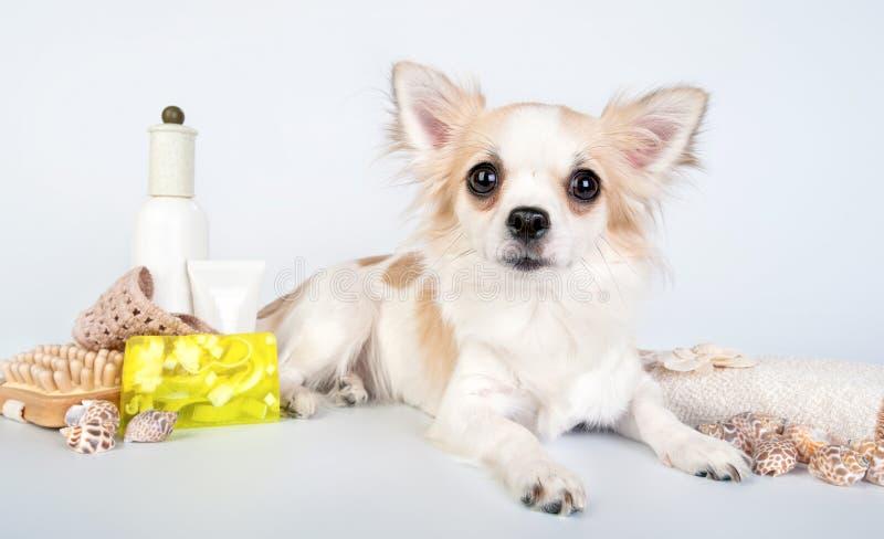Chihuahua con gli accessori della stazione termale fotografia stock libera da diritti