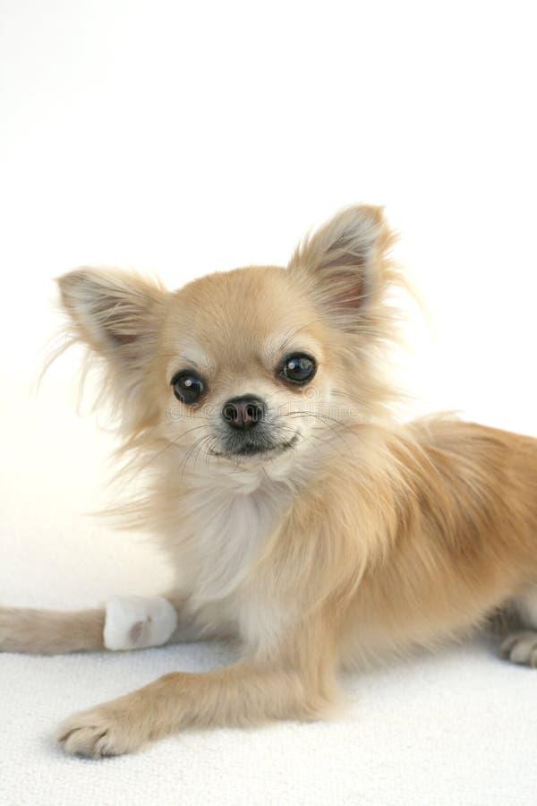 Chihuahua con la pierna herida imagen de archivo