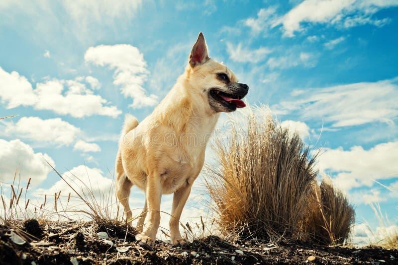Chihuahua contro il cielo nuvoloso fotografia stock libera da diritti