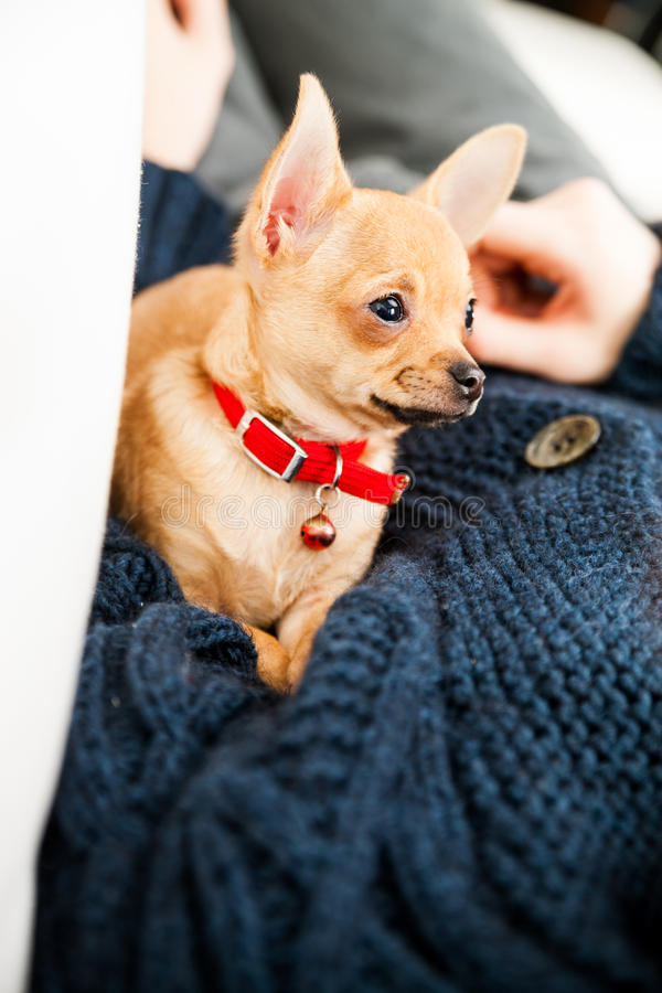 Chihuahua is in controle over deze mens stock afbeelding