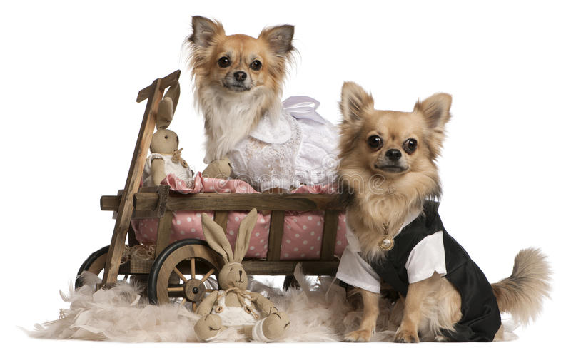 Chihuahua couple, 2 years old, dressed up royalty free stock photo