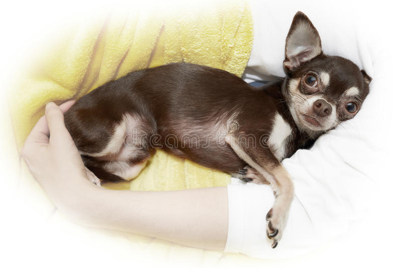 Chihuahua in cuddle. Look on Chihuahua in cuddle royalty free stock images