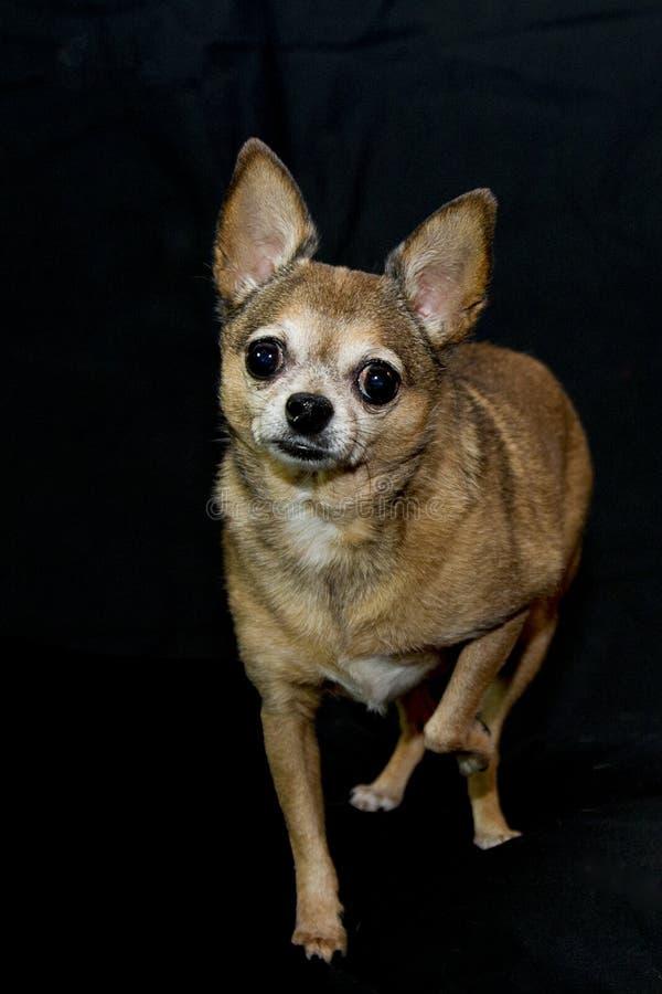 Chihuahua da xícara de chá da fêmea adulta fotos de stock