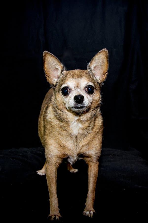 Chihuahua da xícara de chá da fêmea adulta imagem de stock royalty free