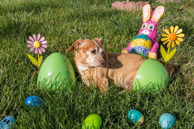 Chihuahua/Dachshund bereit zu Ostern stockfoto