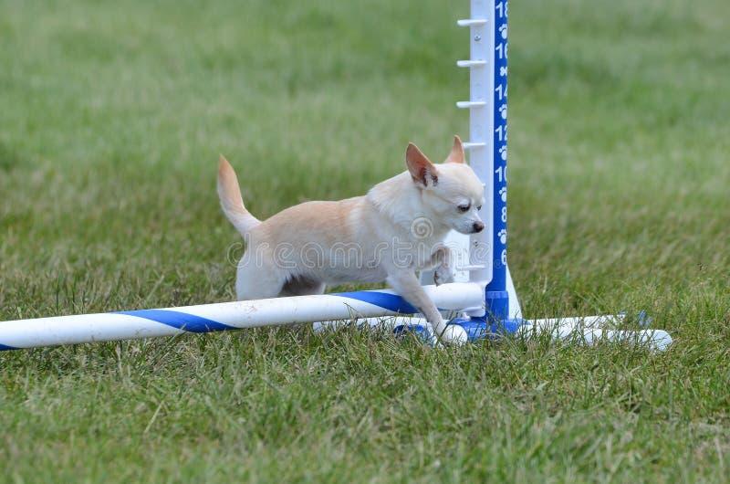 Chihuahua dai capelli corti ad una prova di agilità del cane immagine stock