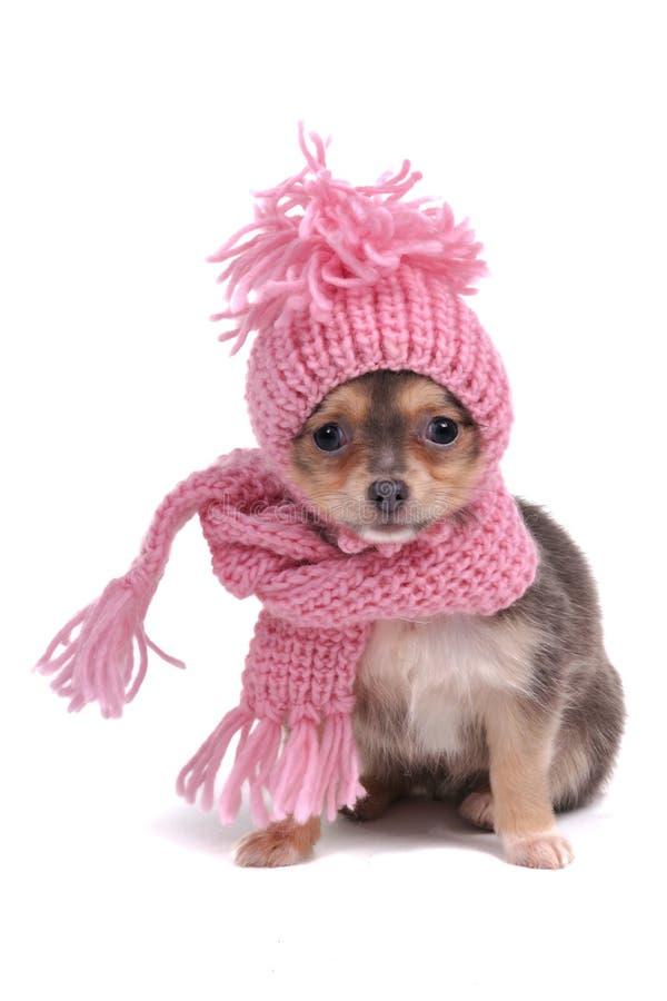 Chihuahua in de Kleren van de Winter stock afbeelding