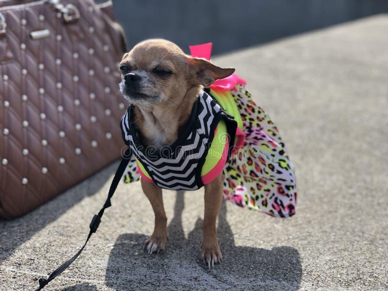 Chihuahua de la alta moda y bolso de cuero tachonado grande imagen de archivo libre de regalías