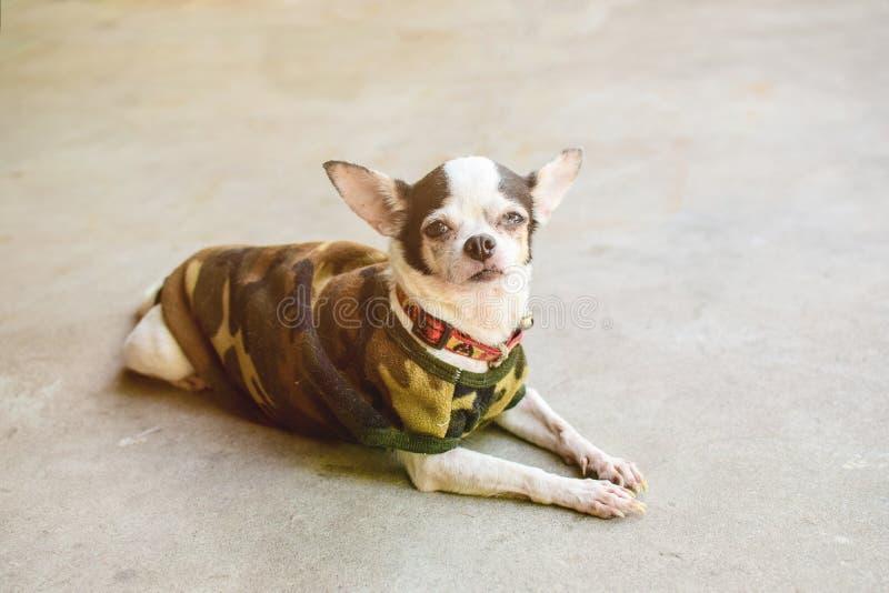 Chihuahua de la enfermedad imagen de archivo libre de regalías
