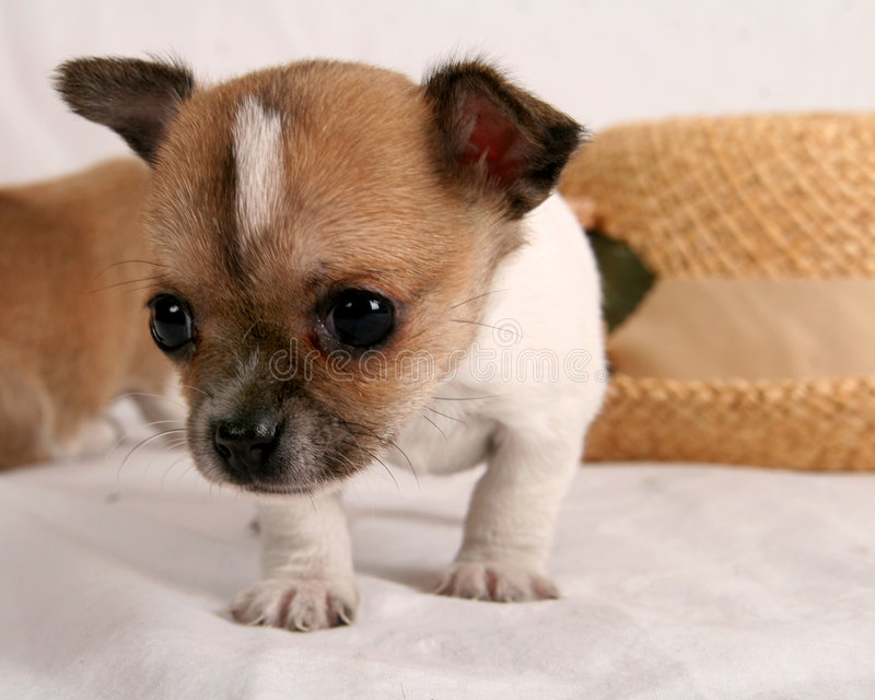 Chihuahua de Lil fotos de archivo libres de regalías