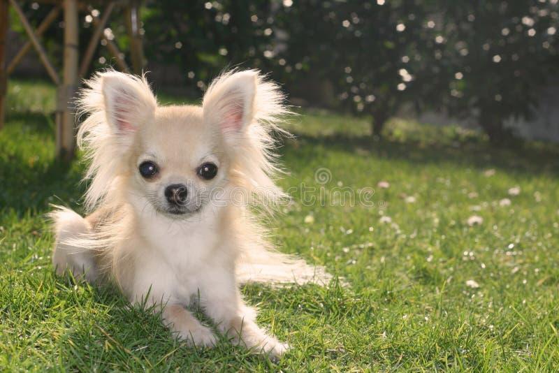Chihuahua de pelo largo foto de archivo