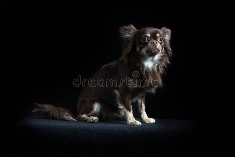 Chihuahua de pelo largo masculina en fondo negro imagen de archivo libre de regalías