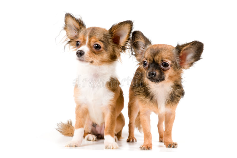 Chihuahua dei cuccioli in studio immagine stock