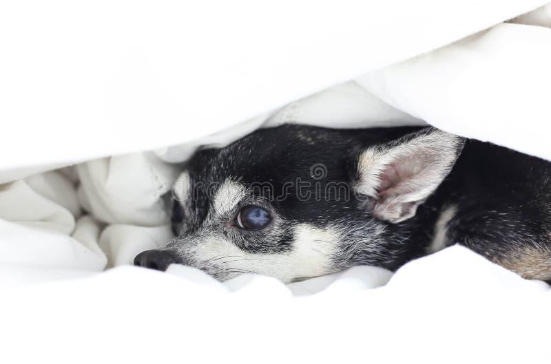 Chihuahua del cane che si nasconde sotto la trapunta immagine stock