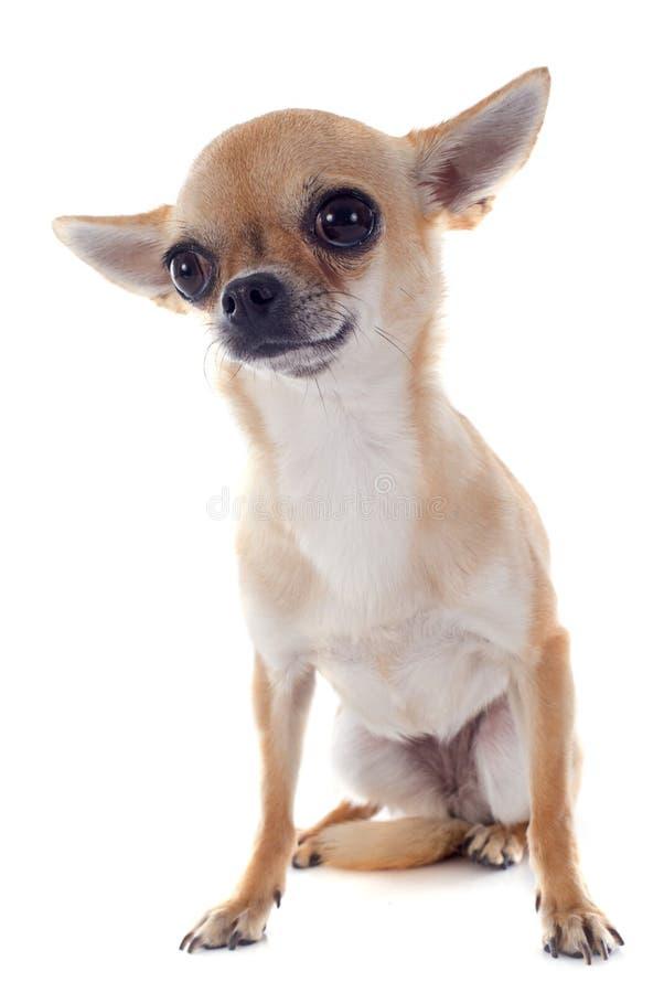 Chihuahua del pelo corto foto de archivo
