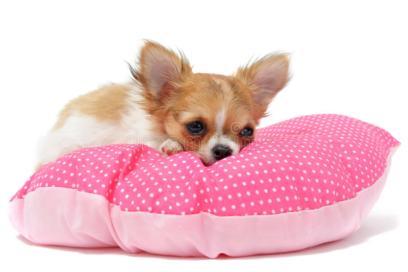 Chihuahua del perrito foto de archivo