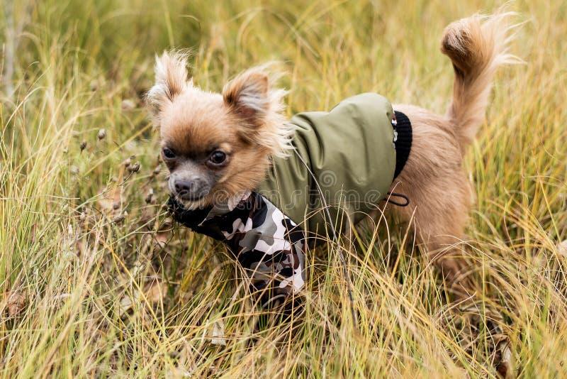 Chihuahua del perro Perro que camina en mún tiempo del otoño Ropa caliente para los perros foto de archivo libre de regalías