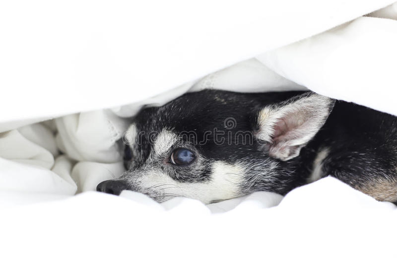 Chihuahua del perro que oculta debajo del edredón imagen de archivo