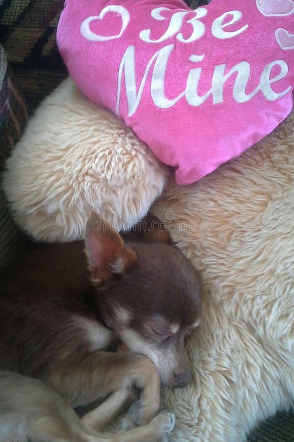 Chihuahua del ` s del biglietto di S. Valentino fotografia stock libera da diritti